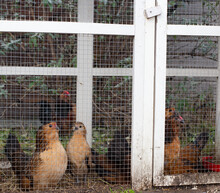 Brown Ornamental Chickens In Cage, Fancy Appearance In Backyard Close-up