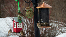Sparrow Came To A Feeder To Have Some Delicacies During A Spring Day.