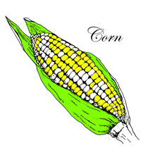 Color Illustration Of The Corn Cob. Hand Drawn. Object.
