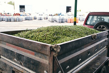 Huge Heap Of Fresh Green Olives Placed In Shabby Metal Car Trailer Parked In Industrial Area Of Factory