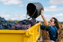 Young Female Winemaker With Bucket Filling Bright Vehicle With Ripe Grapes Under Cloudy Sky In Countryside