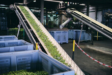 Old Sorting Conveyer With Green Vegetables Processing In Shabby Industrial Area Of Factory
