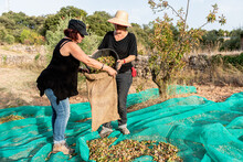 Female Farmers In Casual Clothes Putting Nuts From Bucket Into Bag While Standing On Mesh In Countryside