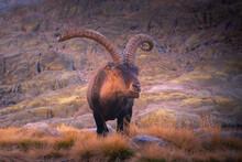 Alpine Ibex With Wavy Horns Standing On Rough Mount Near Grass In Sierra De Gredos In Twilight