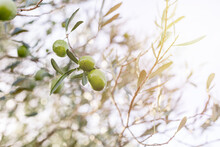 From Above Of Ripe Green Olives Hanging On Tree Branches With Green Leaves In Orchard
