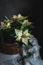 Yellow Euphorbia Pulcherrima On Wooden Basket Placed On White Fabric In Dark Room Background