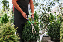 Unrecognizable Male With Gardening Scissors Cutting Green Buxus In Pot While Working In Hothouse
