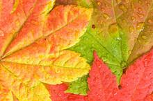 Raindrops Collect On Colorful Vine Maple Acer Circinatum Leaves In Autumn; Mount Rainier National Park, Washington