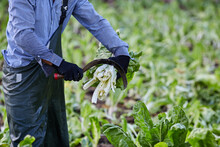 Crop Unrecognizable Male Farmer Standing Cutting Bunch Of Fresh Green Lettuce With Sharp Bagging Hook Of In Countryside In Harvest Season