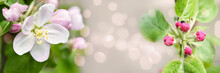 Defocused Widescreen Spring Background With Apple Blossoms And Buds, Selective Focus. Art Design, Banner