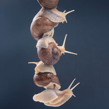 Helix Pomatia. Snails Hold Each Other With Suckers. Romance And Relationships In The Animal Kingdom. Mollusc And Invertebrate.