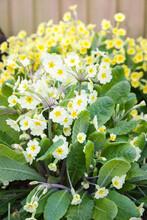 Primrose Flowers Close Up, Yellow Primula Vulgaris, UK