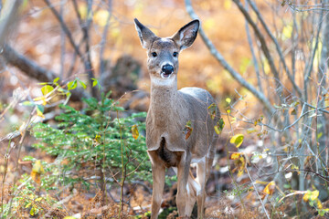 A large female deer stands attentively staring. The animal has a brown body with white on its chin and belly. The wild deer have large pointy ears, dark nose, and eyes with autumn foliage.