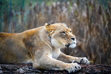 Lioness Relaxing On A Log