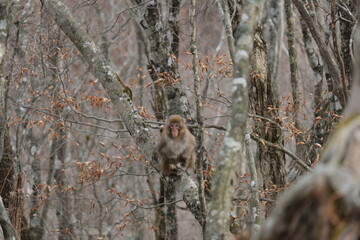 ニホンザル。奥多摩の山の野生動物。Japanese macaque in the forest, autumn time Japan
