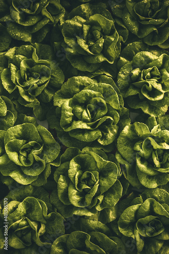Canvas Fresh lettuce with dark leaves