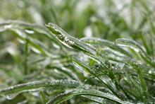 Blades Of Grass Covered With Transparent Ice On A Blurred Green Background. Close-up.