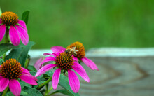 A Honey Bee Gathers Pollen From A Pretty Purple Coneflower In A Missouri Garden. A Nice Bokeh Effect Draws Attention To The Insect.