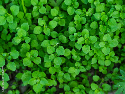 Fresh green mat of foliage of chickweed, cooling herbal remedy, growing in a spr Fotobehang