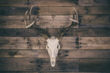Whitetail Deer Buck European Mount Skull