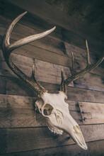 Whitetail Deer Buck European Mount Skull