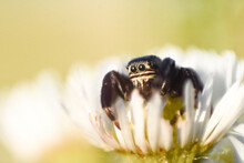 Jumping Spider Sitting On A Daisy