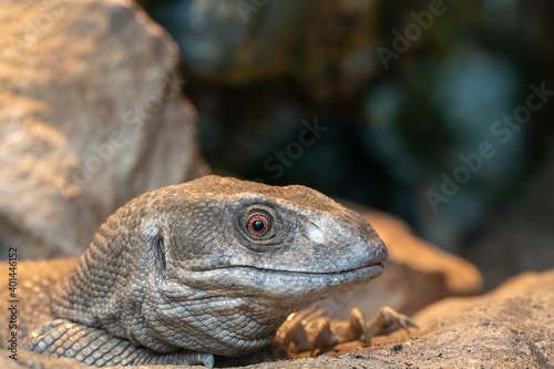 Head shot of a savannah monitor (varanus exanthematicus) Fototapet