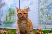 Close-up Portrait  Of Magnificent Beautiful Cute  Orange, Ginger, Red Fluffy Tabby Cat Tiger Looking At Camera, Street Animals At Outdoor