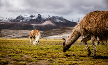 Llamas In The Mountains In Peru