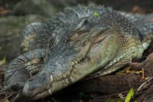 A Swamp Crocodile Sunbathing Near A Protected Forest Swamp