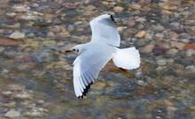 Black-headed Gull (Larus Ridibundus) - In Winter Plumage.