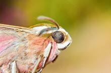 Close Up Portrait Of A Moth