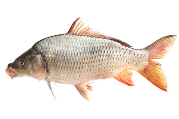 Carp fish on a white background