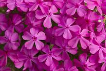 Close Up Pink Moss Phlox