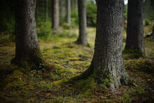 Tree Trunks, Roots With Moss. Large Tree Trunks Covered With Moss And Lichen. Non Urban Scene. Relaxation In The Forest.