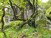 Photo Of Tree Growing On Big Mossy Rock In Jungle Of Himachal Pradesh, Mossy Tree With Most Rock