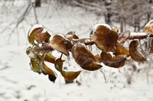 Cold Rain Covered The Brown Leaves On The Branch, With Ice