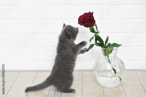 Canvas Print cute funny gray kitten snorts, plays sniffs with red roses in a vase on the tabl