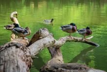 Ducks Resting On Branches Above The Lake
