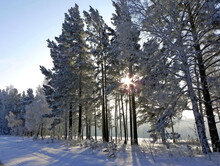 Sunlight Spreads Through The Tree Branches. The Sun's Disk  Behind The Trees Visible As A Star. Winter Landscape.