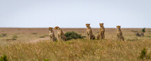 Image Of The Famous Cheetah's The Musketeers In Masai Mara