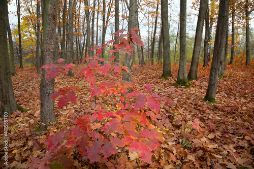 Fototapeta Bright red tree in the autumn forest, among bare beech trees, ground covered with yellow leaves