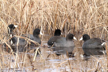 American Coots In A Marsh
