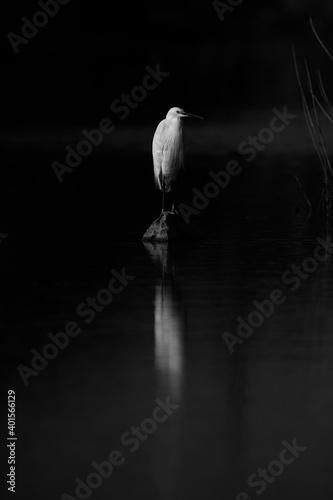 Canvas Print Little Egret perched on a rock at Asker marsh, Bahrain