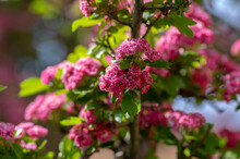 Crataegus Laevigata Cultivar Pauls Scarlet Bright Pink Flowering Tree, Group Of Beautiful Springtime Flowers In Bloom