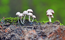 Group Of Small Mushrooms Growth Near The Green Moss