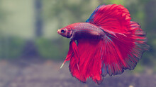 Red And Blue Colored Fish Are Swimming In The Sea Water