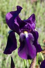 Sydney Australia, Deep Purple Flower Of A Bearded Iris