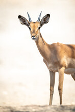Close-up Of Young Male Common Impala Standing