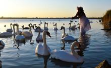 Beautiful Girl Among White Swans At Sunset.
